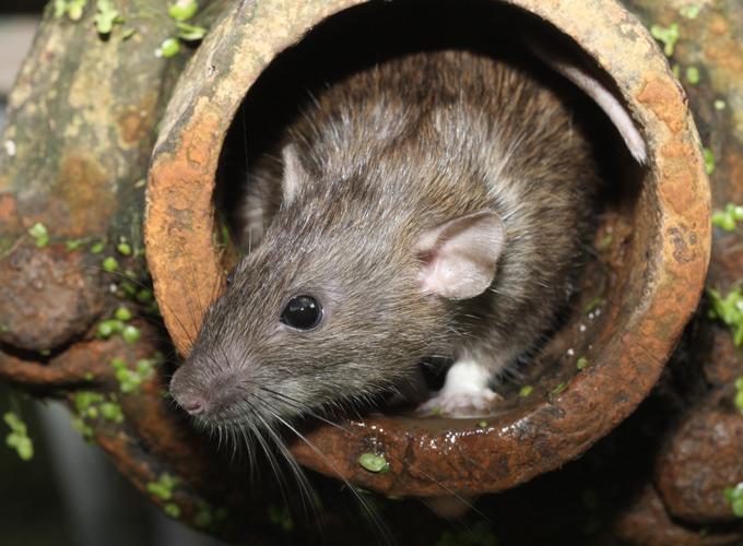 חולדה מצויה (ח. העליות, ח. אלכסנדרונית) – Rattus rattus