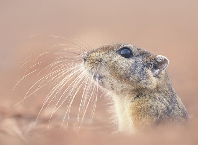 פסמון-(פסמון-המדבר)-–-(sand-rat-or-fat-sand-rat)-Psammomys-obesus-