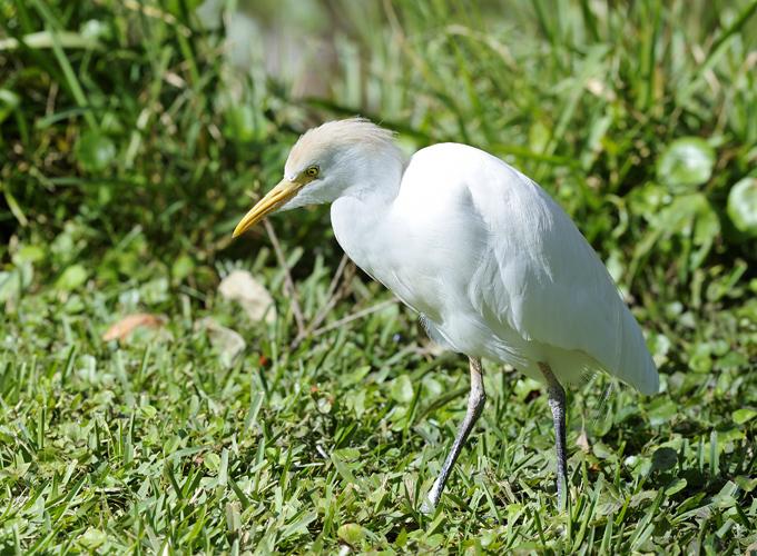אנפית הבקר – Bubulcus ibis (cattle egret)