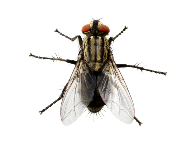 זבוב הבית – Musca domestica (the house fly)