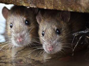 מכרסמים – (rodents) Rodentia