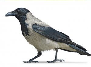 עורב אפור – Corvus corone (hooded crow)