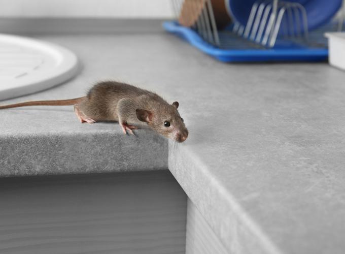 עכבר הבית המצוי –Mus musculus domesticus