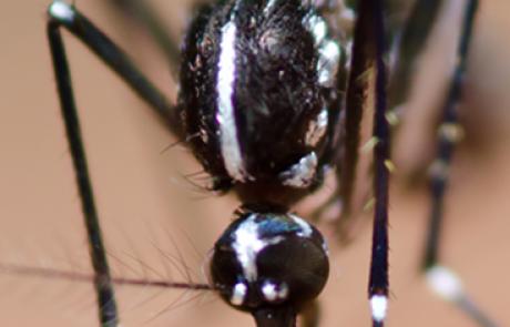 יתוש הטיגריס האסייני – מיפוי סיכונים בריאותיים, ניטור, קידום פתרונות והסברה