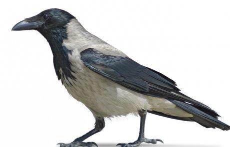 עורב אפור – Corvus corone (hooded crow)