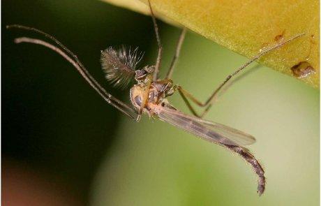 ימשושים או יתושים מצויצים