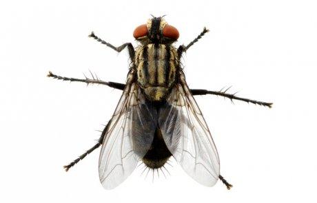 זבוב הבית – Musca domestica (the house fly)