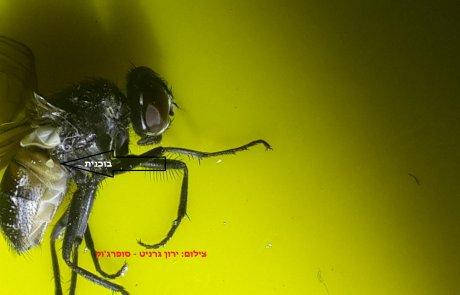 הפעלולן: כיצד יכול חרק בעל מוח בגודל של גרגר מלח לבצע מהלכים במהירות מופלאה?