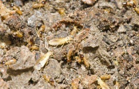 טרמיט ננסי (טרמיט ארצישראלי) – Microcerotemes palaestinensis)
