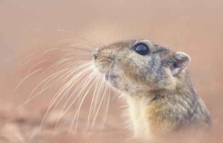 פסמון (פסמון המדבר) – (sand rat or fat sand rat) Psammomys obesus