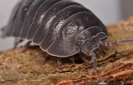 טחבית שחורה (טחבית הסלע) – Porcellio obsoletus