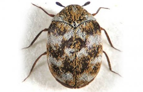 העוריות – חיפושיות מזיקות לרכוש