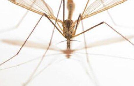 הטיפולתיים – יתושי הענק