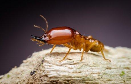 טרמיט פורמוסן – Formosan subterranean termite