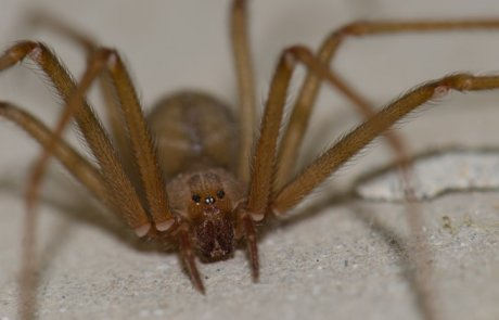 עכבישים בישראל – השניים שכן רצוי להיזהר מהם